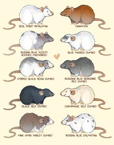Rat Coat Types