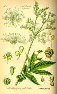 Meadowsweet herb is a versatile plant that can be used in a variety of ways. A simple meadowsweet tea is wonderful medicine. Botanical Drawings, Botanical Illustration, Botanical Prints, Illustration Art, Impressions Botaniques, Illustration Botanique, Nature Journal, Motif Floral, Nature Prints