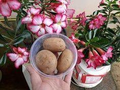 incrivel coloque 3 batatas cozidas em suas plantas e confiram o excelente resultado.; - YouTube