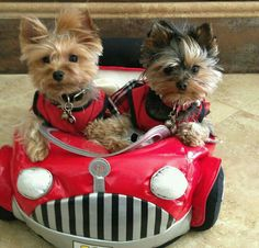 I wanna go with these 2 Cuties from Yorkie Town. Cute Puppies, Cute Dogs, Dogs And Puppies, Yorkies, Morkie Puppies, Cute Baby Animals, Funny Animals, Chien Yorkshire Terrier, Yorshire Terrier
