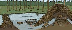 Beaver lodge diagram - photo#51