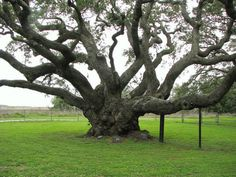 "This tree is literally called, ""The Big Tree."" It is at Goose Island State Park in southern Texas near Rockport. Estimated to be over 1000 years old."