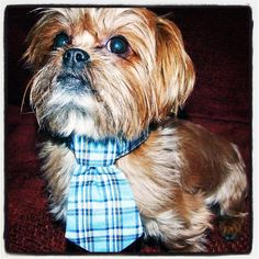 Bruno is ready for work with his new tie lol !!!! www.fetchdogfashions.com #puppy