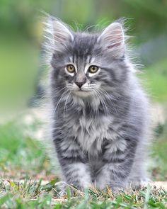 Who doesn't love a fluffy, grey kitten?