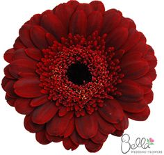 Mini brown gerbera daisies are fresh, fun and cheerful wedding flowers. Did you know that gerbera daisies are the 2nd most popular flower, after roses. $58