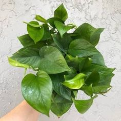 Pathos Plant, Pothos Plant Care, Low Light Plants, Plant Diseases, Black Leaves, Low Lights, Growing Plants, Houseplants, Indoor Plants