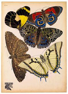 Papillon, Butterflies Plate 12