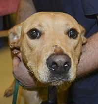 FINAL DATE EXPIRED CRITICAL!!!  Animal ID  20687273    Species  Dog    Breed  Retriever, Labrador/Mix    Age  2 years 2 months 3 days    Sex  Male    Size  Medium    Color  Tan/White    Declawed  No    Housetrained  Unknown    Site  HEART, Help Every Animal Reach Tomorrow--SOUTH CAROLINA    Intake Date  8/9/2013