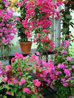 Bougainvillea over wintering Tropical Garden, Tropical Flowers, Beautiful Flower Arrangements, Beautiful Flowers, Bougainvillea Care, Summer Plants, Fruit Plants, Enchanted Garden, Garden Spaces