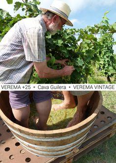 At Cava Guilera the wine harvest season has already started - T'apuntes a la seva Verema Vintage, o ets més de Verema +25? #altpenedes #costabcn #BCNmoltmes