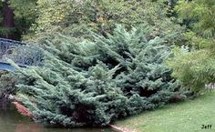 Juniperus x media 'Pfitzeriana Glauca'
