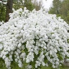 Spring flowering shrubs - Exochorda macrantha The Bride - flowers Apr-Jun, uk