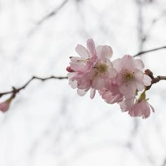 #spring #flower #flowers #cherryblossom #pink #桜