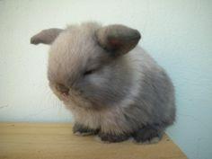 Holland Lop Rabbit products,Thailand Holland Lop Rabbit supplier