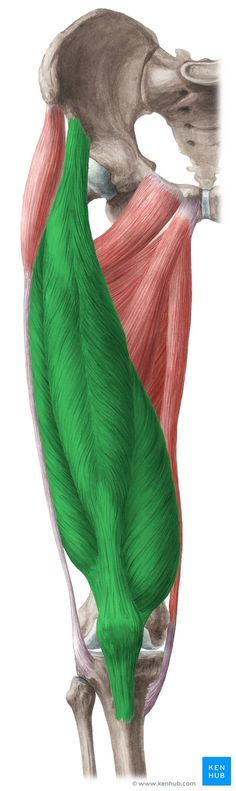 This article describes the anatomy and function of the quadriceps femoris muscle, including clinical aspects. Learn this topic now at Kenhub! Yoga Anatomy, Anatomy Study, Anatomy Reference, Human Anatomy, Gross Anatomy, Anatomy Sketches, Anatomy Drawing, Quadriceps Femoris, Remedial Massage