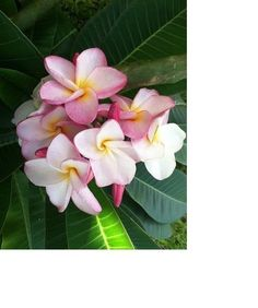 """ROOTED PLUMERIA PLANT CUTTING  """" NAKAMOTOS BOUQUET """" 16"""" WITH 3 TIPS"""
