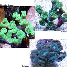 Trumpet Coral $50 - $80 | Corals for Beginners - These are corals proven to be hardy, undemanding, and well-suited for the beginning hobbyist.