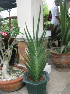 How to Grow a Sansevieria Plant - Care Guide Weird Plants, Unusual Plants, Exotic Plants, Cool Plants, Cacti And Succulents, Planting Succulents, Cactus Plants, Planting Flowers, Indore Plants