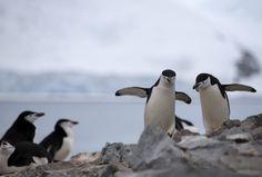 Picky penguins losing battle to climate change - REDORBIT #Penguins, #ClimateChange