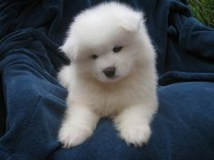 The Samoyed is a beautiful dog with a wonderful temperament.  Samoyeds are excellent family companions. They are extremely trustworthy, and affectionate to all mankind. They must be included in all aspects of the family life, they are not just a dog but are a four legged member of your family.