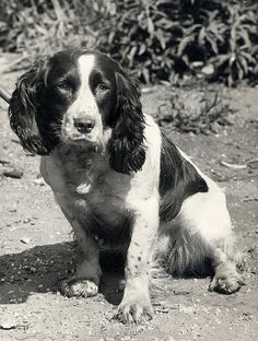 Springer spaniel. My grandparents had one that looked just like this. Her name was Mitzi.