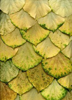Hydrangea anomala petiolaris by horticultural art