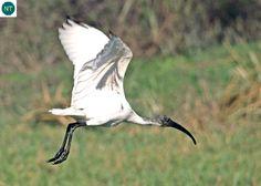 ☎️ https://www.facebook.com/WonderBirdSpecies/ 🕊️🕊️🕊️ Black-headed ibis/Oriental white ibis (Threskiornis melanocephalus); Indian Subcontinent and Southeast Asia; 📚 IUCN Red List of Threatened Species 3.1 : Near Threatened (NT)(Loài sắp bị đe dọa) 🐥 Cò quăm đầu đen; Tiểu lục địa Ấn Độ và Đông Nam Á; HỌ CÒ QUĂM - THRESKIORNITHIDAE (Ibises and Spoonbills).