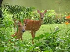 They're Only Cute When It's Not Your Garden! It's that time of year again! Time to brew up a batch of my never-fail deer repellent. Actually, I have several recipes. Here they are: FROM: 3 raw eggs...