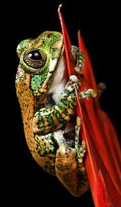 Usambara peacock frog (Leptopelis vermiculatus).
