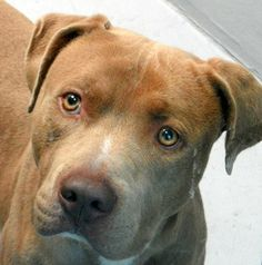 *RUSTY-ID#A679476    Shelter staff named me RUSTY.    I am a neutered male, brown and white Pit Bull Terrier.    The shelter staff think I am about 4 years old.    I have been at the shelter since Oct 21, 2012.