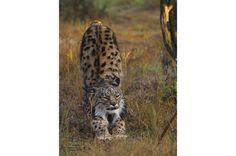 Lince-ibérico (Lynx pardinus)  A origem do nome lince vem de uma palavre grega que significa luz, uma referência ao brilho dos olhos do animal quando iluminados por uma lanterna – uma característica que ajuda na visão noturna e é comum entre os felinos e se desenvolveu em outros grupos de mamíferos. São encontrados na América do Norte, Europa e Ásia. A espécie mais ameaçada é o lince-ibérico (foto), um especialista em caçar coelhos que sofre por ter uma área de distribuição restrita.