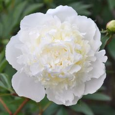 The spring-plant Duchesse De Nemours Peony is garden royalty! Duchesse De Nemours peony bulbs produce a double, globe-shaped creamy-white flower that has a tint of yellow at the petals' base. This perennial peony is a late season bloomer. Your Duchesse De Nemours Peonies will also attract butterflies with their 5 inch showy blooms!