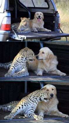 You may think unlikely friends, but I understand they pair big cats and dogs quite often in zoos.  Fun to see!
