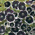 Nemophilia Black