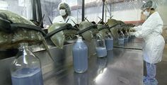 The Blood Harvest - Atlantic Mobile Each year, half a million horseshoe crabs are captured and bled alive to create an unparalleled biomedical technology