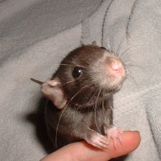 excuse me while my head explodes from excessive baby-rattie cuteness >_