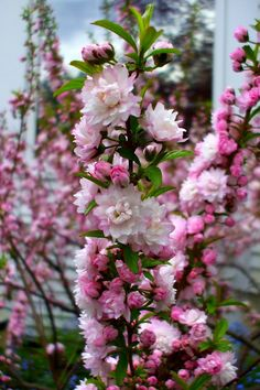 Flowering Almond. I want one of these bushes sooooo bad. They are my fav.