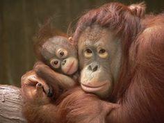 Orangutang and Baby