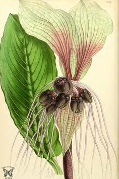 White Batflower (Tacca integrifolia). A unique and amazing flower. Long whisker-like bracts reach up to 1 foot long. Illustration is accurate in color, Chartreuse Batflower would seem a more appropriate name. The Floral Magazine vol.7 (1868)