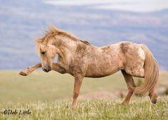 Wolke, auffällig: die berühmten wilden Mustangs Cloud vorzunehmen, auf ein anderes Band-Hengst, der gekommen war, um seine Familie zu schließen.  Feiner Kunstdruck  Ich werde innerhalb von 3-5 Werktagen von USPS Schiff, nachdem Zahlung gelöscht hat. Ich nehme größten Sorgfalt im Verpacken Ihr Foto um sicherzustellen, dass Sie ihn erhalten unbeschädigt. Galerie gewickelt Leinwand dauert 2-3 Wochen und UPS geliefert wird.  Diese und alle Bilder auf meiner Website Etsy sind wenig © Deb. Alle…