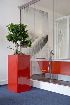 Beautiful Dwarf Ficus in a bold red planter