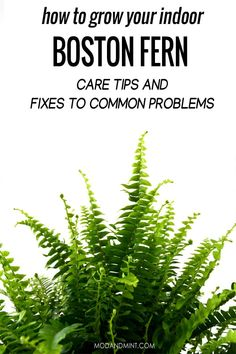 Plant pin! Your Boston fern loves high humidity but more importantly, you should never let the soil dry out completely. If you run into problems, there are easy fixes. Ferns are strong plants and can recover with the right care. Let's talk plants. modandmint.com #plantcare #indoorplants #indoorgardening #houseplants Fern Care Indoor, Indoor Ferns, Indoor Plants, Indoor Flowers, Boston Ferns Care, Indoor Gardening Supplies, Gardening Tips, Hanging Ferns, Garden Renovation Ideas