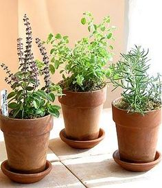 Potted herbs in terra cotta pots will be the centerpieces for the cocktail tables.