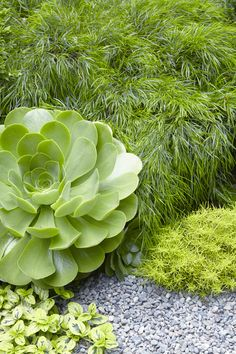 Aeonium 'Mint Saucer' thrives in plantswoman Flora Grubb's Bay Area garden. See more in At Home with Flora Grubb in Berkeley, California. Types Of Succulents, Succulents Garden, Water Plants, Cool Plants, Plant Design, Garden Design, Gravel Garden, Gravel Path, Succulent Landscaping