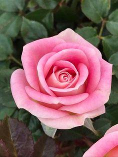 Pink rose Beautiful Rose Flowers, Beautiful Flowers Pictures, Beautiful Flowers Wallpapers, Pink Rose Flower, Purple Roses, Flowers Nature, Amazing Flowers, Pretty Flowers, Flower Art