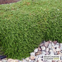 tall x wide. Silver Nailwort is a tough-as-nails groundcover with tiny green thyme-like leaves and silver seed heads that look like white flowers. Recommended as an improved substitute for white thyme because it's more durable and drought tolerant. Landscaping With Rocks, Landscaping Plants, Garden Plants, Water Plants, Landscaping Design, Low Growing Ground Cover, High Country Gardens, Ground Cover Plants, Mediterranean Garden
