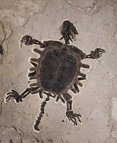 Rare Fossilized Turtle. This and more rare fossils for sale on CuratorsEye.com