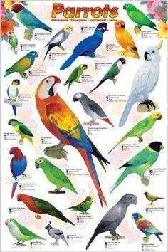 (E51) Parrots Poster at theBIGzoo.com, a family-owned gift shop with 12,000+ animal-themed items.