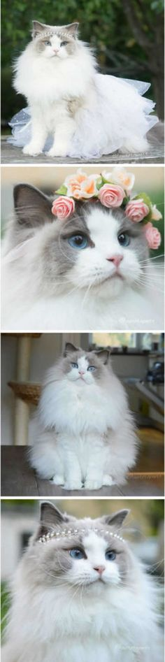 fluffy princess cat Aurora Instagram