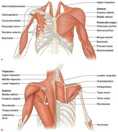 Figure 3.4 Major muscles of the upper extremities:  (a)  front view;  (b)  back view. Deeper muscles are shown on the right side of the body.